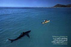 Google Image Result for http://dummidumbwit.files.wordpress.com/2010/04/great-white-shark-kayak.jpg