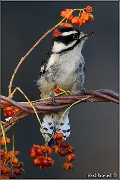 ..Downey Woodpecker by Earl Reinink..