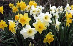 Drifting Through a Host of Golden Daffodils Daffodil Flowers, Daffodils, Barns, Miniatures, Bloom, Plants, Barn, Plant, Minis