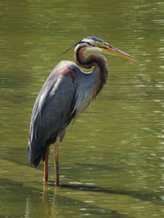Nikita Hengbok posted a photo:  A Purple Heron @Japanese Garden.  Come walk with me in my blog: A Walk @Chinese & Japanese Garden
