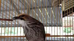 Cucak Rowo Ropel Gacor cucak rowo juara 1 nasional cucak rawa ropel gacor cucak kicau cucak gacor  https://www.youtube.com/watch?v=zksj2Y4kW7k