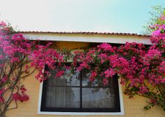 Crowning glory..bougainvillea