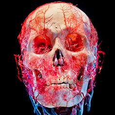 Bodies Skulls is a series of still-life images featuring preserved human skulls, bodies and various internal organs. By James Bareham, pho. Anatomy Art, Human Anatomy, Facial Anatomy, Gunther Von Hagens, Still Life Images, Medical Art, Human Skull, Human Art, Skulls