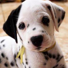 Me dá um beijo?  . . #connectingdogsandpeople#bravecto #BJWTanimals #animalsco #meupetnavejinha #petstagram #dogspupsworld #sendadogphoto #premierpet #dalmatianspotlight #dogsofinstagram #beautifulcreatures #goprobr #thebestdog #dogsthathike #puppiesxdogs #bestwoof #topdogphoto#diadafofura #zeedog #dogscorner#doglover #cuteanimals #amomeucachorro#boxpetiko #AnimalAddicts#Puppysketch #Awhanimals #thatsbabyanimals #msdpetstar