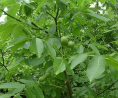 Botanical name: Juglans regia L. Salvia Officinalis, Fresco, Plantation, Plant Leaves, Spices, Health Fitness, Plants, Photography, Gardens