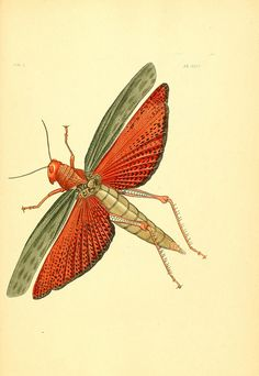 grasshopper or locust, from Illustrations of Exotic Entomology, ca. 1837 (Biodiversity Library, flickr)