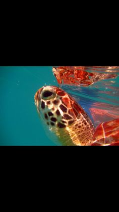Green turtle Green Turtle, Under The Sea, Caribbean, Fish, Pets, Animals, Animals And Pets, Animales, Animaux