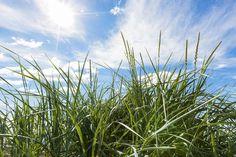 Green Grass & Blue Sky - Wall Mural & Photo Wallpaper - Photowall