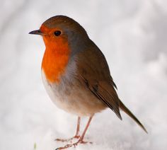 Telegraph readers' photos of the snow and icy weather in Britain - Telegraph this little guy is adorable Little Birds, Love Birds, Beautiful Birds, Animals Beautiful, Animals And Pets, Cute Animals, Robin Redbreast, In Natura, Bird Pictures