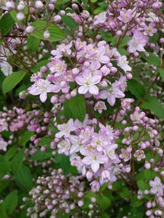 Deutzia x elegantissima 'Rosealind' (or mine could poss be a 'mont rose' but very similar)