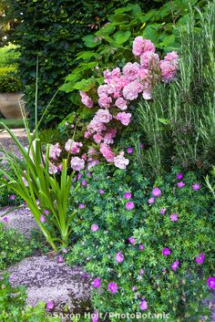 Pink flowering shrub rose 'Cornelia' in mixed border with rosemary and flowering geranium sanguineum sprawling groundcover; Picket Fence Garden, Garden Fencing, Garden Beds, Pink Garden, Garden Roses, Rosemary Garden, Ground Cover Roses, Mixed Border, Geraniums