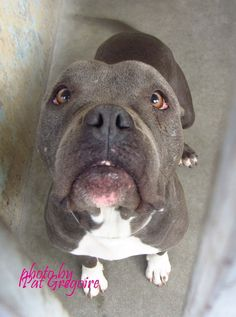 rescued 1/11/15 - Wags and Walks A4785647 my name is Sugar. I am a very friendly and happy 2 yr old female blue/white pit bull mix. my owner left me here on Dec 20. available 12/26/14 NOTE: Bully breeds are not kept as long as others so these dogs are always urgent!! Baldwin Park shelter https://www.facebook.com/photo.php?fbid=895047093840462&set=a.705235432821630&type=3&theater +++++++++SO VERY SWEET++++++++