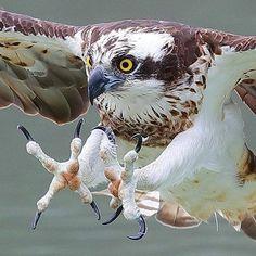 Osprey (Pandion haliaetus).