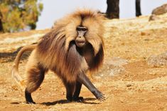 Gelada monkeys live only in the high mountain meadows of Ethiopia — an environment very unlike those of their forest- or savanna-dwelling primate relatives. About 100,000 to 200,000 gelada monkeys survive, but even their remote mountain locales are feeling the effects of encroaching agriculture that threatens the grasslands.