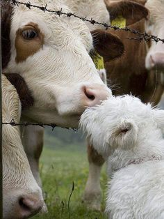 """theveganmothership: """" Cows are amongst the gentlest of breathing creatures; none show more passionate tenderness to their young when deprived of them; and, in short, I am not ashamed to profess a deep..."""