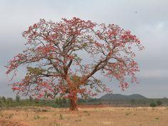 Salmaria Malabarica or Silk Cotton tree