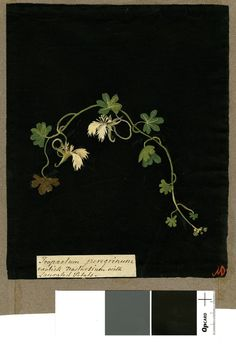 Tropeolum Peregrinum, from an album (Vol.IX, 62); nasturtium with lacerated petals. Mary Delany. 1776 Collage of coloured papers, with bodycolour and watercolour, and with leaf sample, on black ink background