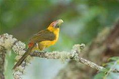 Adams Serra Photography   Birds of Brazil   Aracari Banana / Saffron ...580 x 388   83KB   adamsserraphotography.zenfolio.com