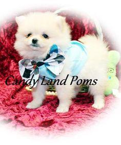 Dallas Tx Teacup Chihuahua Puppies For Sale Dallas Texas Breeder