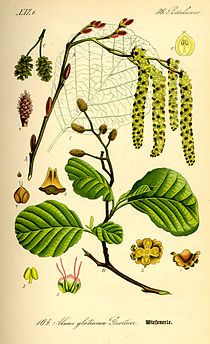 Alnus glutinosa, alder. Catkins and black fruit simultaneous in winter