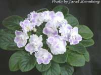 Silverglade Ribbons African Violet Society of America | Promoting and Growing the African Violet since 1946