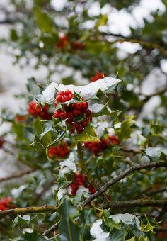Winter Christmas, Christmas Time, Christmas Scenery, Christmas Carol, Christmas Photos, Family Christmas, Holly Tree, Holly Berries, Winter Berries