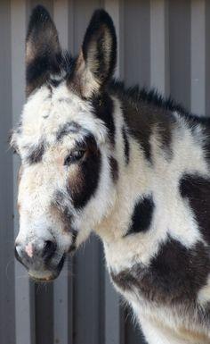 #Cookie @ Island Farm #Donkey Sanctuary