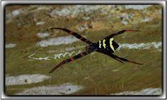 Angga-angga adalah bahasa Jawa untuk mengistilahkan laba-laba...!  http://ikanmasteri.com/journal/anga-angga.html