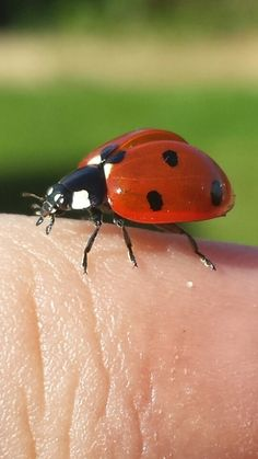 A ladybird prepares for take off