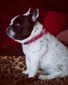 """The French Bulldog lost in thought this morning...""""Should I go outside and chase the bunnies from next door? Or should I nap by the fire?"""" As my…"""