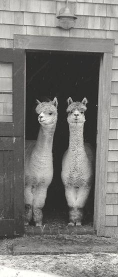 llama pictures,funny llama,cute llama,llama cartoon,cartoon llama,pictures of llamas,funny llama pictures,llama funny,ugly llama,llama images,funny llama pics,llama animal,llama pics,llam,cute llamas,llama eyes,llama pictures funny,llama picture,llama transparent,images of llama,funny llamas,fluffy llama,picture of a llama,llamas pics,picture of llama,llamas eyes,llama photos,llama background,llama head,pet llama,llama baby,llama pic,lamma animal,llama clipart black and white,christmas llama