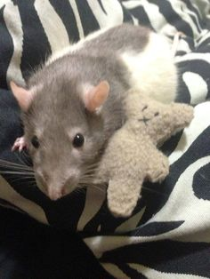 bear toy Did you know rats like teddy bears too? Now your ratty can have his very own fluffy little friend. They give them cuddles, carry them around, and even use them as a pillow, not to Funny Rats, Cute Rats, Teddy Bear Toys, Teddy Bears, Dumbo Rat, Rat Toys, Tiny Teddies, Rodents, Hamsters