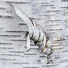 valscrapbook:  elostirion:Birch Curls by keidong on Flickr.