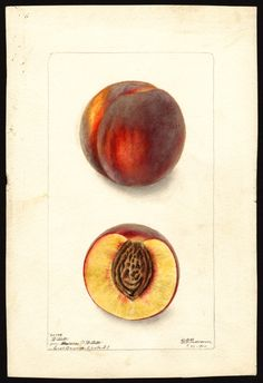 """Artist: Passmore, Deborah Griscom, 1840-1911  Scientific name: Prunus persica  Common name: peaches  Variety: Willett   """"U.S. Department of Agriculture Pomological Watercolor Collection. Rare and Special Collections, National Agricultural Library, Beltsville, MD 20705"""""""