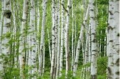 How to Paint Birch Trees With Acrylic Paint   eHow