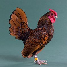 Chicken Breeds - Sebright Bantam                Egg Laying: Poor (1/wk)  Egg Color: Cream or Tinted  Egg Size: Tiny (bantam)