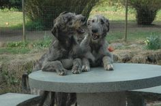 Two puppies for about 4 month old Irish Wolfhound Puppies, Irish Wolfhounds, Cute Puppies, Cute Dogs, Scottish Deerhound, Wolf Spirit, Baby Dogs, Doggies, Dog Life