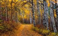 Aspen Tree Wallpapers HD | Page 2 of 3 | wallpaper.wiki