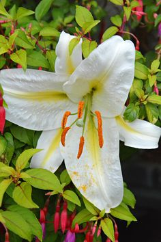 Asitic lily in my garden (Wil 3444)