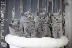 STARFALL*LT | Britų Trumpaplaukių kačių veislynas | https://starfall.lt/ |