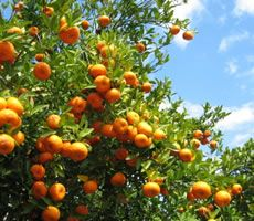 Orange Groves - all over central Florida  You can see many of the groves from the road