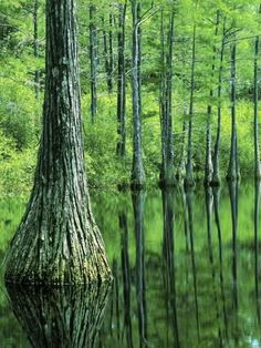 Photographic Print: Bald Cypress, Apalachicola National Forest, Florida, USA by Charles Gurche : 24x18in