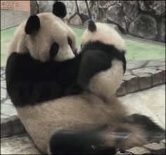 Panda and cub gif http://i.imgur.com/RHoe6Yc.gif