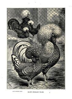 gravures volailles - gravures volailles - poule et coq white-crested black - Gravures, illustrations, dessins, images