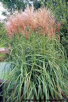 miscanthus sinensis 39 kleine silberspinne 39 gr ser pinterest. Black Bedroom Furniture Sets. Home Design Ideas