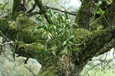 Tuinieren met Bakker » Alles over de Tuin en TuinierenDe geschiedenis van de mistletoe | Tuinieren met Bakker