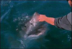 "Human: ""Got your nose!"" Shark: ""Got your hand!"" 4gifs: "" Petting a great white shark "" Nope."