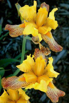 ✯ Yellow Iris