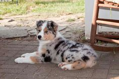Beautiful. Australian Sheppard