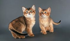 Two Somali Kittens, by Johnny Kruger Animal Photography